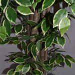 Искусственное дерево Фикус Бенджамина